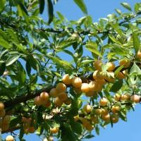 Lei-fruitboom